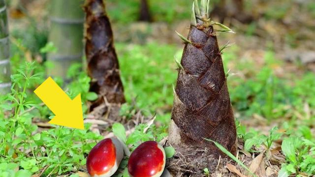 Người nông dân lên núi đào măng, vô tình đào được 2 'quả trứng' màu đỏ máu: Chuyên gia khảo cổ tìm đến tận nhà!