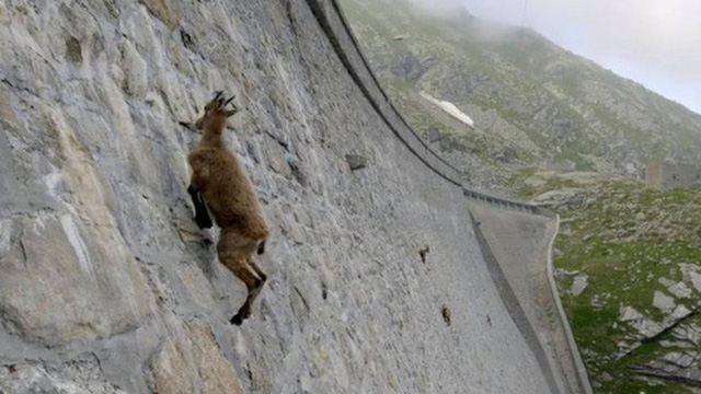 Loài dê núi 'coi trọng lực Trái Đất là trò đùa vui', leo vách đá dựng đứng để tìm khoáng chất duy trì năng lực siêu nhiên