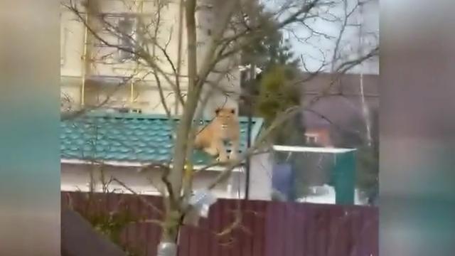 """Nga: Sư tử ngồi chễm chệ trên mái nhà; người xung quanh hoảng sợ, chủ nhân nói """"bình thường mà"""""""