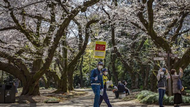 Hoa anh đào Nhật Bản, Mỹ nở rộ sớm nhất trong 1.200 năm qua