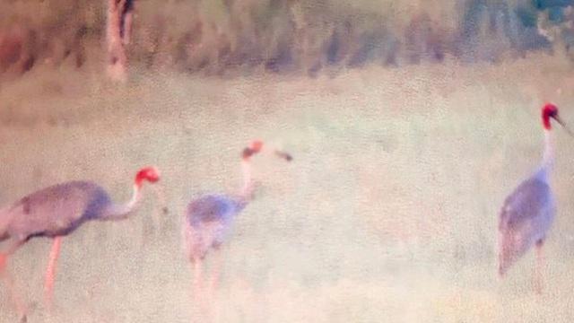 Sếu đầu đỏ trở về Vườn quốc gia Tràm Chim sau gần 2 năm vắng bóng