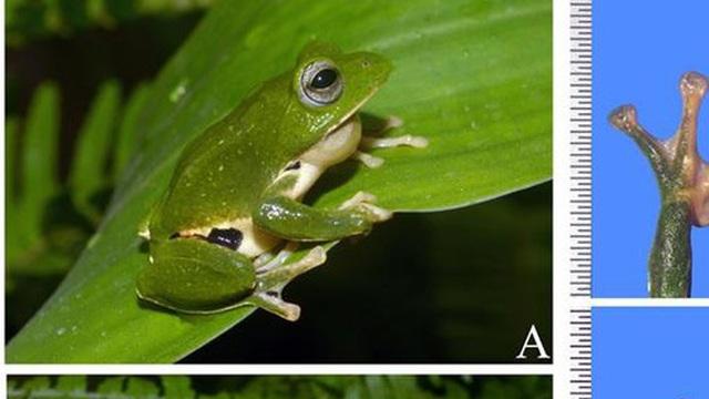 Phát hiện 3 loài ếch mới siêu đẹp ở Việt Nam