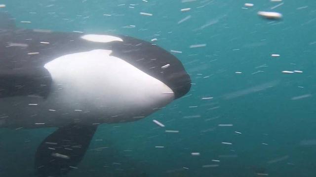 Cái kết bất ngờ khi du khách chạm trán cá voi sát thủ ở cự ly gần