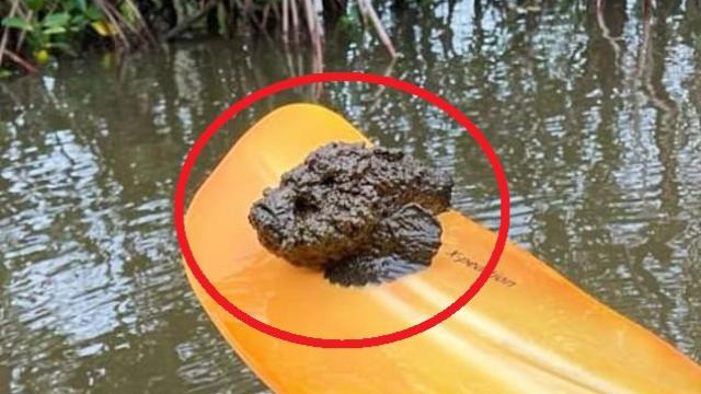 Úc: Chèo thuyền kayak, kinh hãi phát hiện sinh vật cực độc bám vào mái chèo