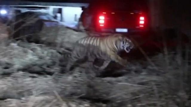 Hổ Siberi nặng hơn 200kg đột nhập vào làng, điên cuồng tấn công người Trung Quốc