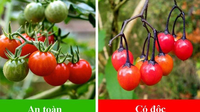 7 loại cây ăn quả có 'anh em song sinh' giống như đúc: Quả an toàn, quả có độc chết người