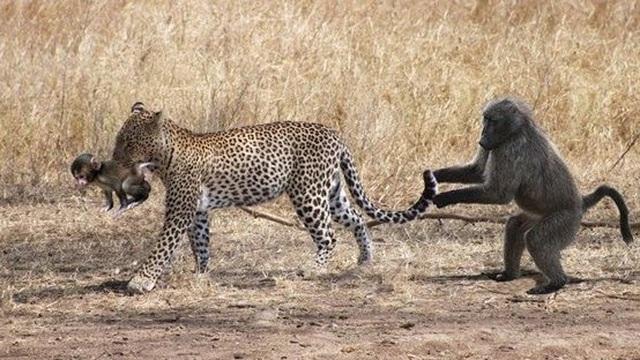 Clip: Cướp con từ 'tay' báo đốm, khỉ mẹ chỉ ôm về cái xác