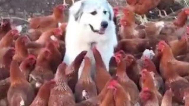 Có việc phải ra ngoài nên để chó trông coi chuồng gà, đến khi trở về, chủ nhân sửng sốt trước những gì nhìn thấy