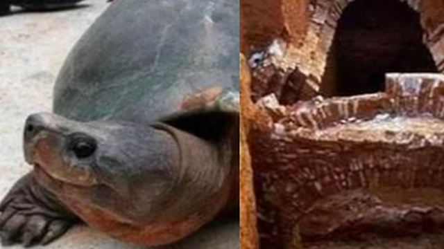 Chuyện lạ giới khảo cổ: Khai quật ngôi mộ đóng kín suốt 2000 năm, một 'cụ' rùa lớn bò ra làm chuyên gia ngỡ ngàng