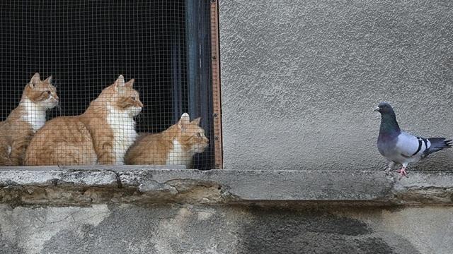 Triều Tiên diệt mèo và chim bồ câu ở biên giới để ngăn dịch COVID-19