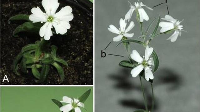 Các nhà khoa học Nga tạo nên điều diệu kỳ: Hồi sinh hạt giống niên đại 32.000 năm