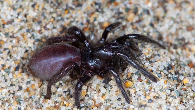 Phát hiện loài nhện khủng có nọc độc, sống thọ hàng chục năm