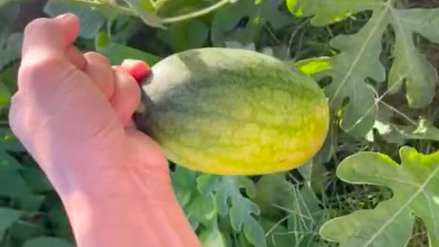 """Lén trồng trái dưa hấu bên vệ đường, tới ngày thu hoạch, thanh niên hí hửng mang vào nhà xẻ ra ăn và """"té ngửa"""" vì thứ bên trong"""