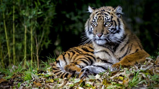 Hổ con sinh ra không thở, hổ mẹ bình tĩnh xử lý tình huống khiến mọi người xung quanh thán phục