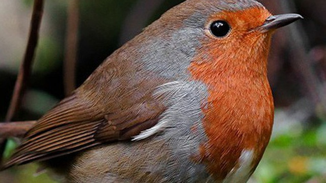 """Giác quan """"lượng tử"""" lần đầu tiên được tìm thấy ở một loài chim di cư, giúp chúng tìm đường mà không cần la bàn"""