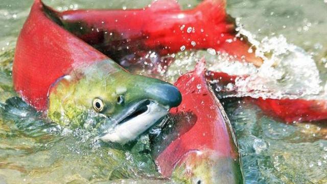 """Video: Cá hồi như bị """"luộc chín"""" do nắng nóng kỷ lục ở Bắc Mỹ"""