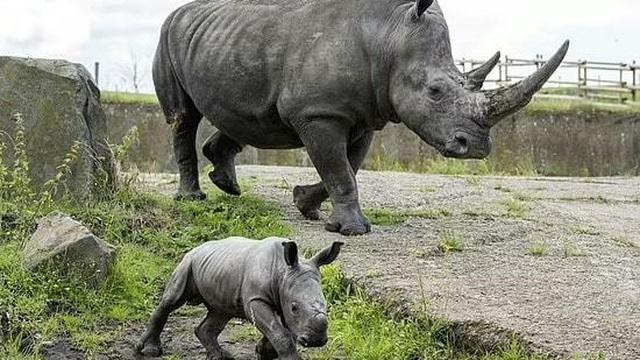 Tê giác trắng quý hiếm chào đời tại công viên Anh
