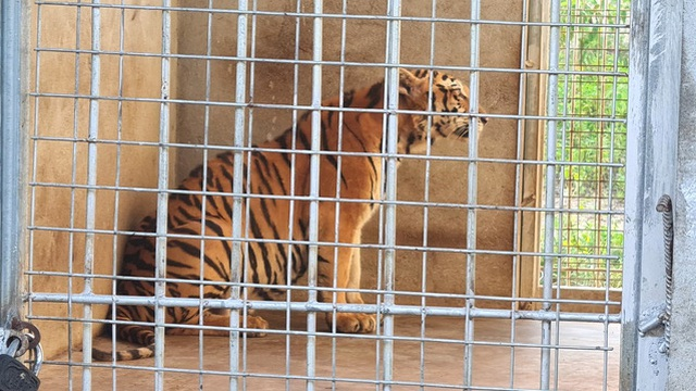 9 con hổ Đông Dương còn sống sau giải cứu ở Nghệ An: Ăn 6kg thịt mỗi ngày, thích nghi tốt và được 'trị liệu' giảm stress