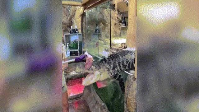 Video: Cá sấu nhảy khỏi bể nuôi giành miếng ăn và phản ứng gây sốc của nữ nhân viên