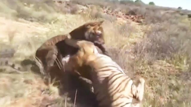 Clip: Cuộc chiến sinh tử giữa 2 con hổ
