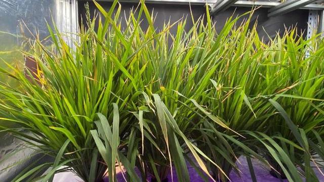 Trung Quốc tạo đột phá trong việc trồng lúa: Thu hoạch sau 60 ngày, sản lượng 9,8 tấn/ha