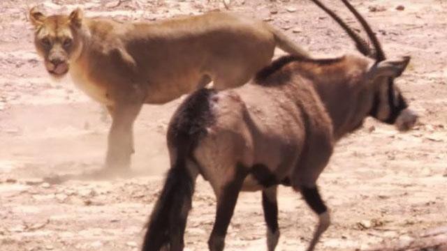 Linh dương sừng thẳng Ả Rập một mình 'cân' 2 sư tử vẫn giành chiến thắng