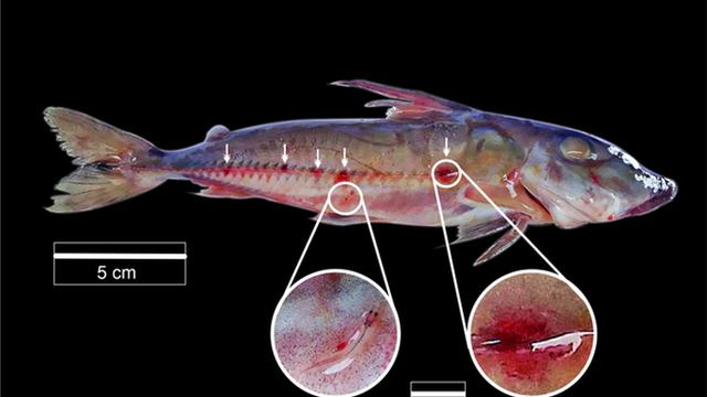 """Loài cá ma cà rồng ám ảnh sông Amazon không chỉ hút máu mà còn dùng vật chủ làm """"phương tiện di chuyển"""""""