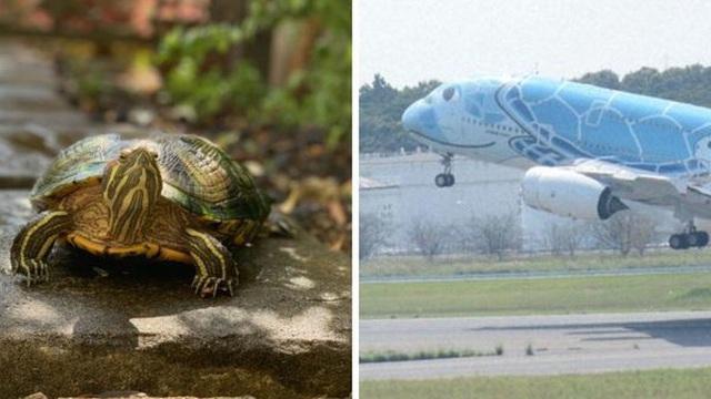 Rùa bò qua đường băng khiến chuyến bay ở Nhật bị hoãn