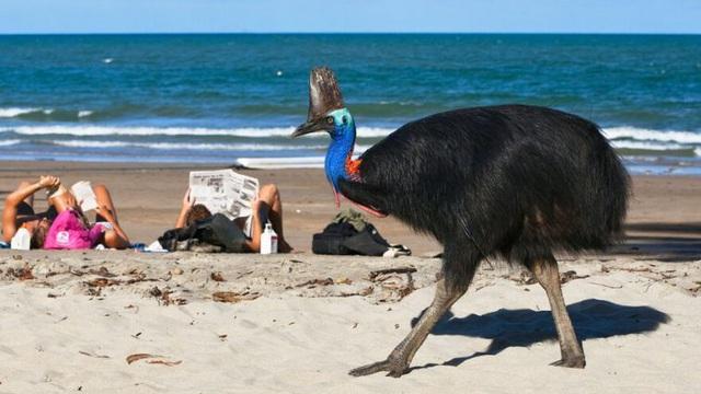 To lớn như khủng long, đây là loài chim nguy hiểm nhất con người từng nuôi