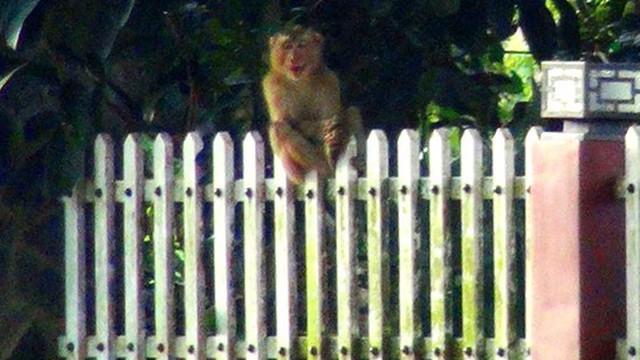 Thị trấn Lộc Thắng (Bảo Lâm) xuất hiện 1 con khỉ