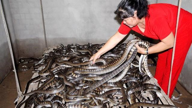 Cận cảnh rắn hổ hèo nằm chất đống lên nhau