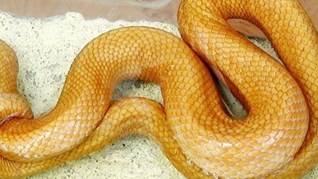 Thấy rắn màu vàng óng, nhiều người sợ không dám bắt