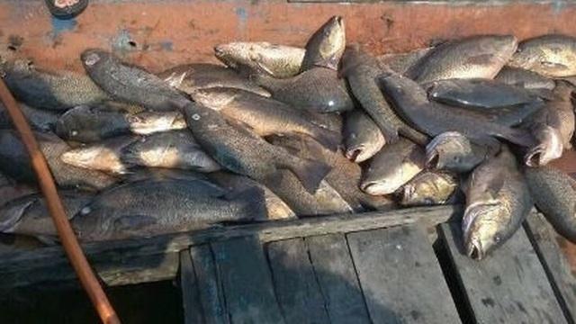 Kiếm tiền triệu nhờ nhặt cá chết bán cho thương lái