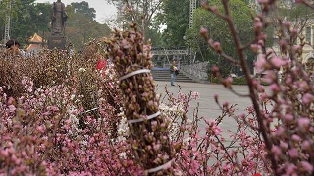 Du khách Nhật Bản bất ngờ khi gặp hoa anh đào tại Hà Nội