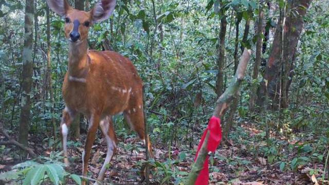 Phát hiện loài linh dương rừng lớn nhất thế giới sau nhiều năm giấu mình
