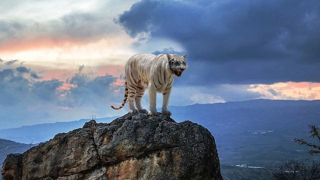 Loài hổ đã sống sót sau thảm họa siêu núi lửa Toba