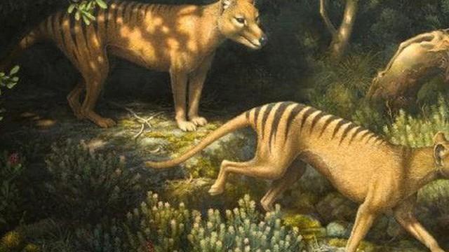 Loài hổ vằn có túi đã tuyệt chủng gần 100 năm trước phải chăng sắp được hồi sinh?