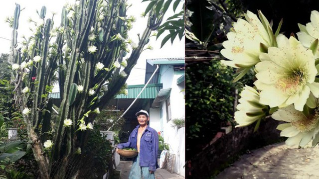 Cây xương rồng gần 30 năm nở hoa khiến cả hàng xóm ùn ùn kéo sang xem