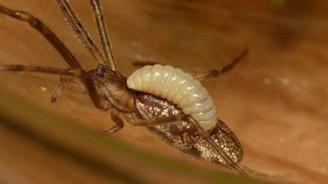 Kỳ lạ loài tò vò 'bắt hồn nhện' trong rừng rậm Amazon