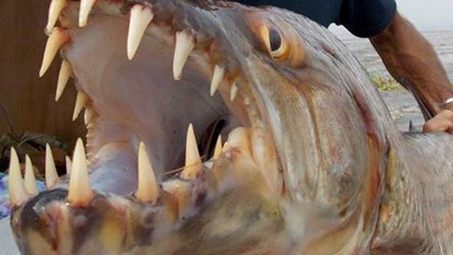 Thu phục cá hổ khổng lồ, răng nhọn hoắt ở châu Phi