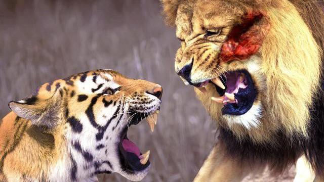 Theo sư tử xuống khe núi săn mồi, hổ lĩnh cái kết đủ đau để cảnh tỉnh nhiều người