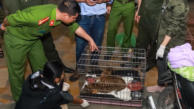 Kiểm tra 2 thanh niên chạy xe máy không biển số, công an phát hiện 2 con hổ quý hiếm