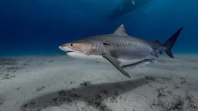 Tìm thấy bàn tay của du khách mất tích trong bụng cá mập hổ