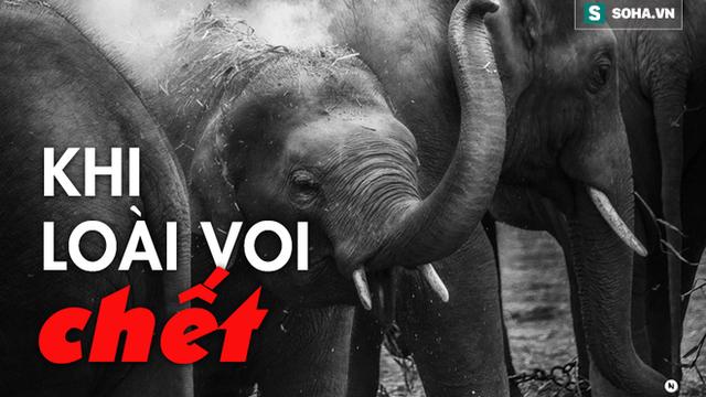 3000 USD đổi lấy 1kg 'báu vật sống' của loài voi: Sự tàn khốc từ lòng tham con người là đây!