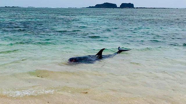 Cá voi dài hơn 2m, nặng trên 100kg dạt vào bờ biển Bình Thuận