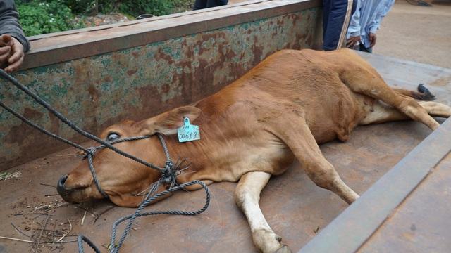 Bò giống nằm liệt sau khi cấp cho hộ nghèo do... sợ hãi?