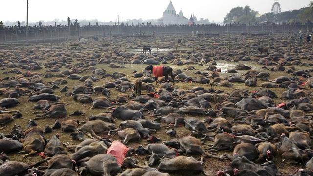 Rợn người tại lễ hiến tế động vật đẫm máu nhất thế giới