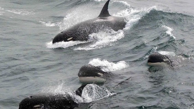 Phát hiện chấn động về nhóm cá voi sát thủ mới ở Nam Đại Dương