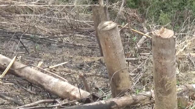 Xác minh thông tin Phó Chủ tịch xã tham gia chặt phá và đốt rừng