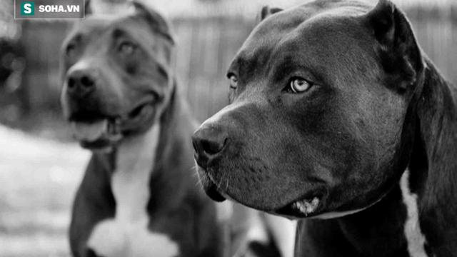 """Anh ban lệnh cấm nuôi Pit Bull - loài chó mệnh danh """"hung thần chó chọi"""": Đây là lý do"""